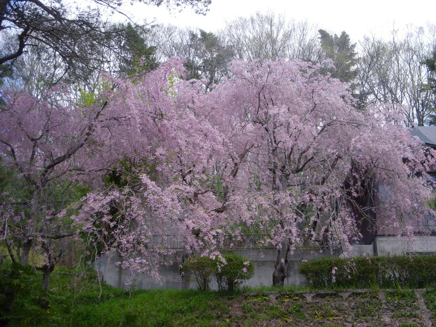 窯場の庭の桜