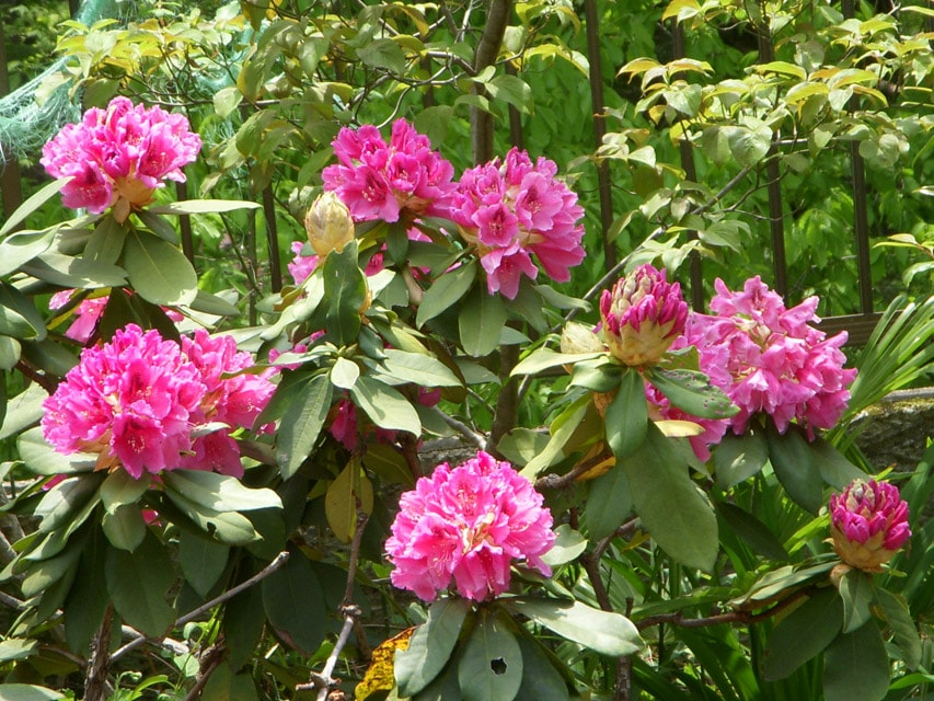 窯場の庭の石楠花