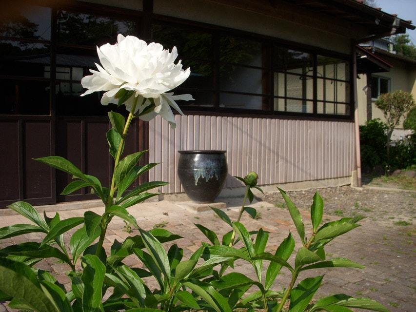 窯場の庭の芍薬