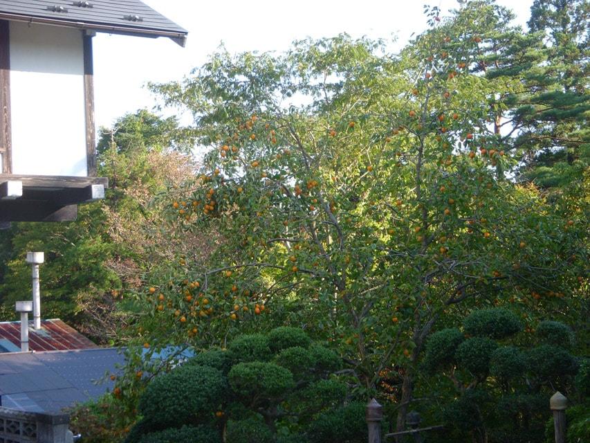 窯場の庭の柿