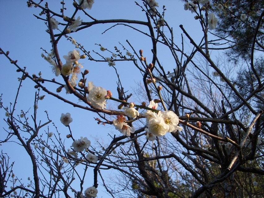 窯場の庭の梅