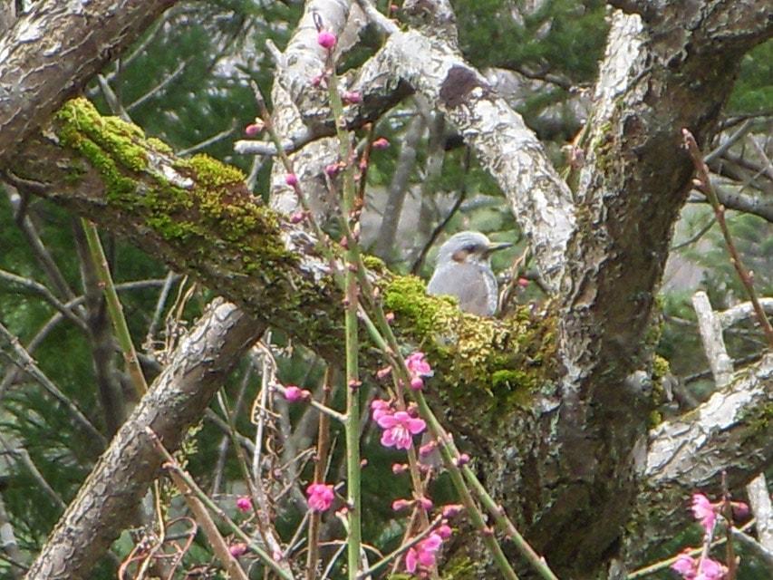 梅の木に留まる鳥