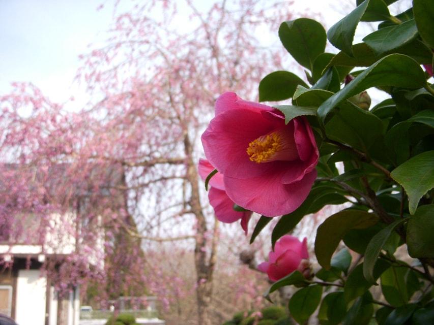 窯場の庭の椿と枝垂桜