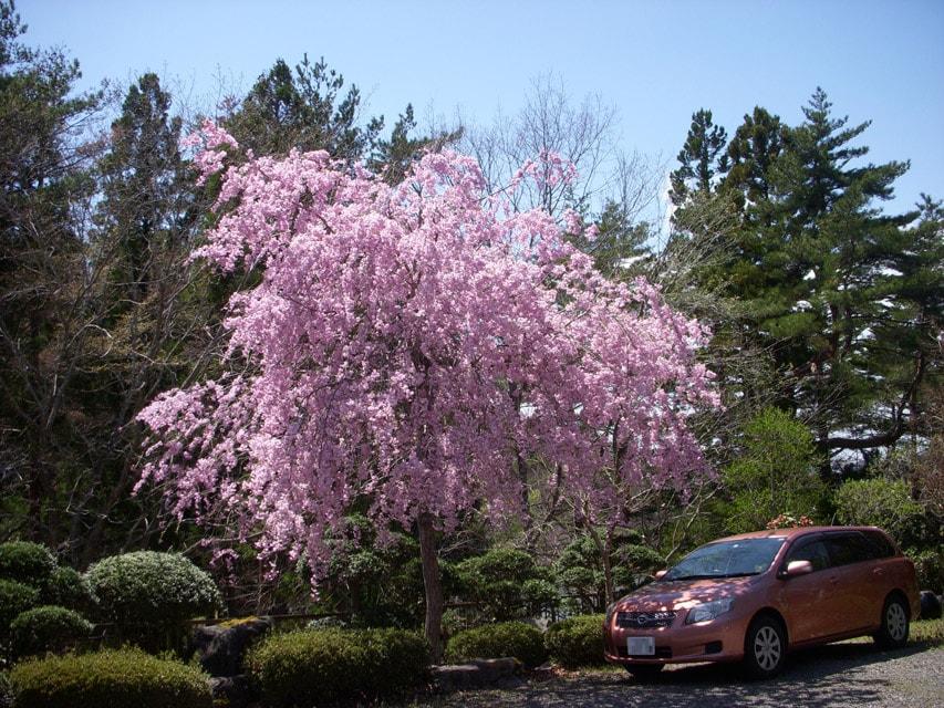 窯場の庭の枝垂桜1