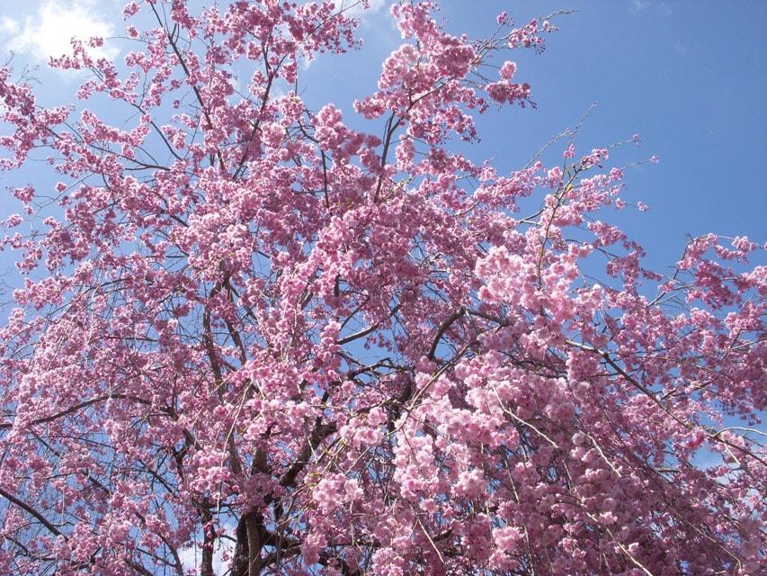 窯場の庭の枝垂桜2