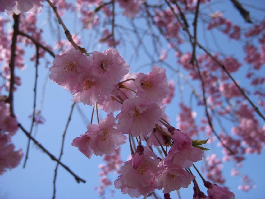 窯場の庭の枝垂桜3