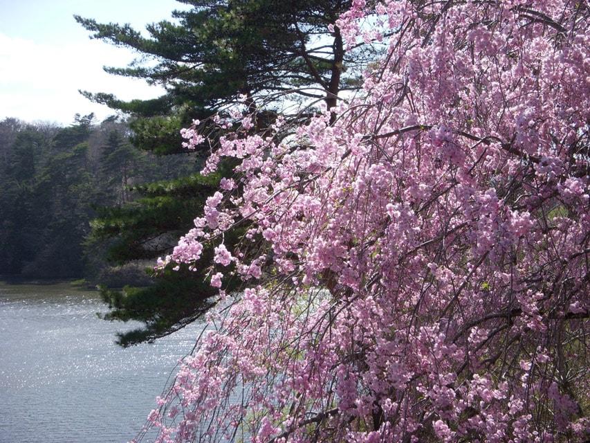 窯場の庭の枝垂桜4